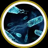 Lactobacillus casei,