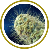 Streptococus thermophilus,