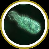 Lactobacillus reuteri,